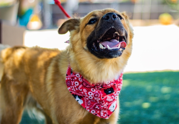 A happy looking brown dog wearing a red bandana.